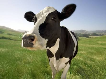 Fanfic / Fanfiction A vida de uma vaca