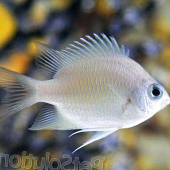 Fanfic / Fanfiction Dorado, o peixe prata