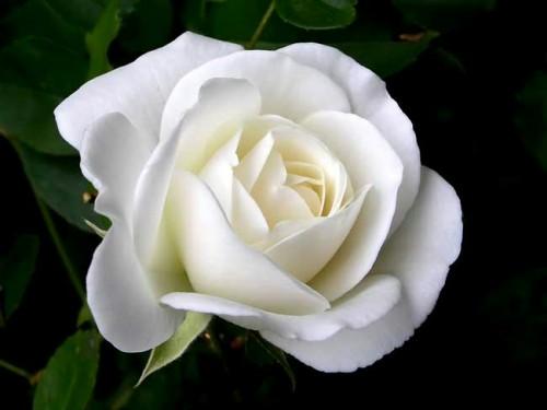 Fanfic / Fanfiction Flores Brancas