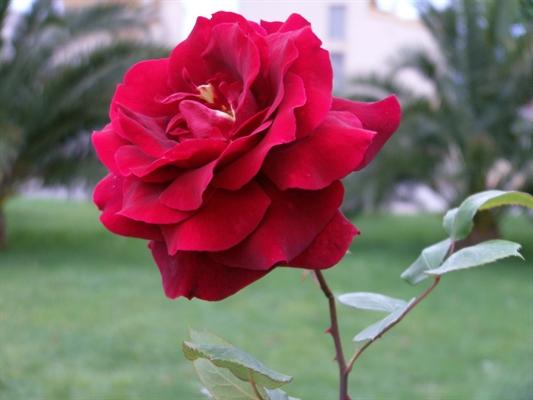 Fanfic / Fanfiction A Rosa da vida