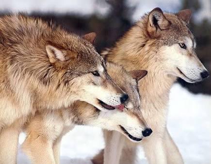 Fanfic / Fanfiction Amor de Lobo