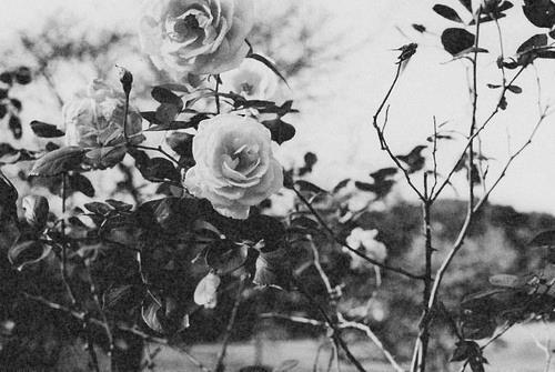 Fanfic / Fanfiction Rosas murchas