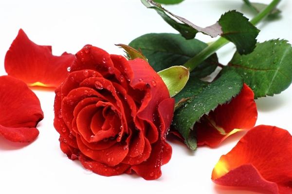 Fanfic / Fanfiction Toda Rosa possui espinhos