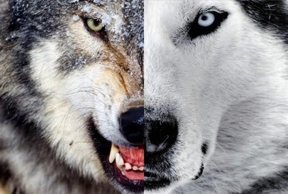 Fanfic / Fanfiction Lobos solitarios