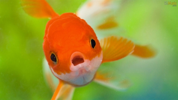 Fanfic / Fanfiction A única vida de um peixe sem água