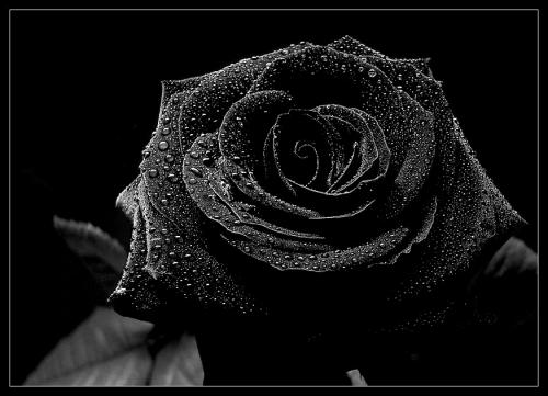 Fanfic / Fanfiction Sentimentos confusos - Capítulo 45 - Rosa Negra