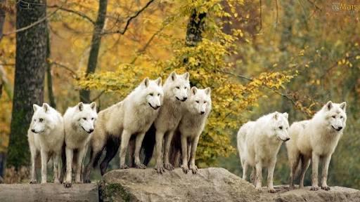 Fanfic / Fanfiction Simplismente Lobo - Capítulo 3 - A alcateia