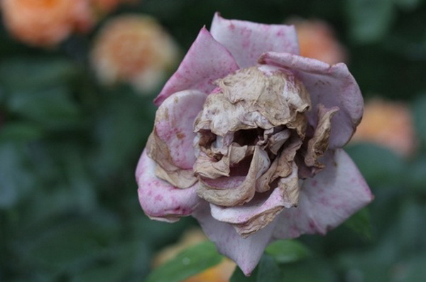 Fanfic / Fanfiction Flores do alvorecer - Capítulo 2 - A flor cadáver