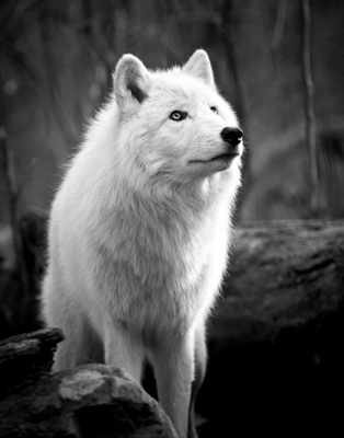 Fanfic / Fanfiction Domando o lobo mau. - Capítulo 4 - Desafio.