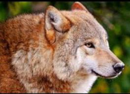 Fanfic / Fanfiction Entre Raposas e Lobos. - Capítulo 4 - LOBO LARANJA JH