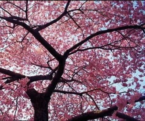 Fanfic / Fanfiction As Barreiras - Capítulo 5 - A Cerejeira