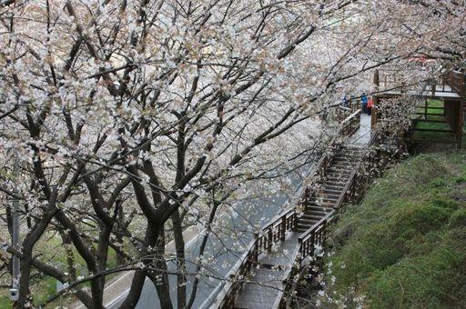 Fanfic / Fanfiction Cerejeiras... Chanbaek - Capítulo 1 - Capítulo um