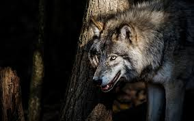 Fanfic / Fanfiction Sentimentos e Sangue - Capítulo 19 - Lobo?!