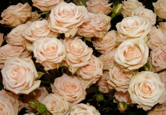 Fanfic / Fanfiction Rose. - Capítulo 3 - Tea Rose