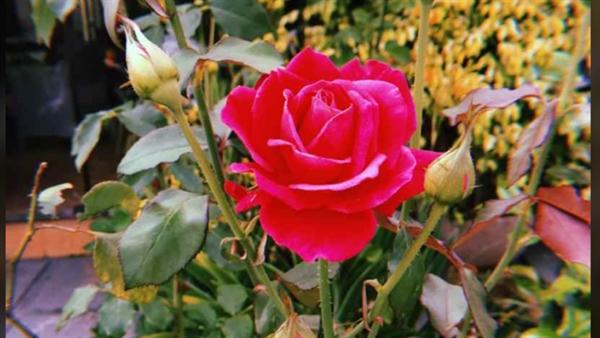 Fanfic / Fanfiction Pétalas Sangrentas (Thorki) - Capítulo 8 - A Flor Que Cresce E Não Desabrocha