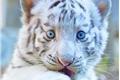 História: A pequena tigresa
