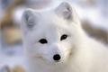 História: White Fox