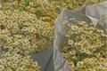 História: Leucanthemum Vulgare. - hyunin.