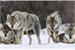 Fanfic / Fanfiction Quatro Lobos