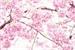 Fanfic / Fanfiction Desabrochar da cerejeira(interativa)