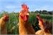 Fanfic / Fanfiction As aventuras de uma galinha(hiatus)