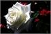 Fanfic / Fanfiction Um Amor Diferente - Rosa Branca Lunar
