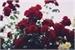 Fanfic / Fanfiction Minha Rosa
