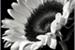 Fanfic / Fanfiction OneShot - A Girassol sem cor...