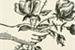 Fanfic / Fanfiction Pétalas da rosa solitária