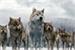 Fanfic / Fanfiction Crepúsculo : Os Lobos..