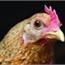 Perfil galinhaI1982