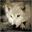 Perfil Wolf_Ice