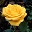 Perfil Enchantedrose