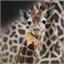 Perfil girafakun