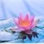 Perfil lothusflower