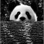Perfil panda015