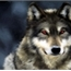 Perfil Wolf_san