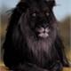~Black__Lion