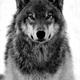 ~gah-only-wolf