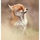 Usuário: foxbaby