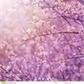 Usuário: Cerejeira-roxa