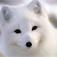 Little_fox04