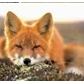 RedFoxie